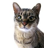 Adult tabby cat Stock Photos