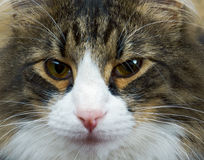 Adult tabby cat Stock Image