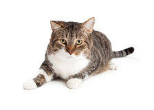 Adult Tabby Cat Laying Looking Forward Stock Image