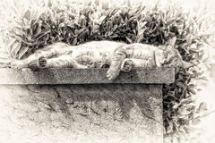 An adult tabby cat sleeping with sunbathing on a low wall. An adult tabby cat sleeping with sunbathing lengthened on a low wall. Black and white fine art Royalty Free Stock Image