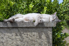 An adult tabby cat sleeping with sunbathing on a low wall. An adult tabby cat sleeping with sunbathing lengthened on a low wall. Portrait of domestic cat. Color Stock Photos