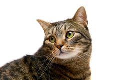 Adult tabby cat on white Royalty Free Stock Photo