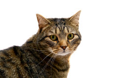 Adult tabby cat on white Stock Image