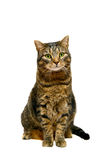 Adult tabby cat on white Royalty Free Stock Images