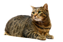 Adult tabby cat on white Royalty Free Stock Image