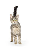 Adult tabby cat on white Royalty Free Stock Photography