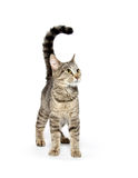 Adult tabby cat on white Stock Photo