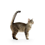 Adult tabby cat on white Stock Photos