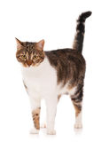 Adult tabby Royalty Free Stock Image