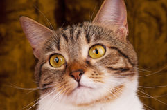 Adult tabby Stock Photography