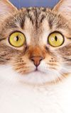 Adult tabby Stock Images