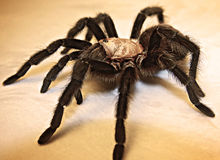 Adult Texas Brown Tarantula/ Black Spider. Large adult Texas Brown Tarantula. Large black spider on white background Royalty Free Stock Images