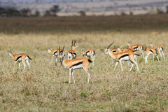 The adult Thomson`s gazelle. The herd of adult gazelles Thomson is grazed in the African savanna Stock Image