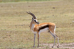 The adult Thomson`s gazelle. Adult male of a gazelle Thomson having gracefully turned the head looks back Stock Photos
