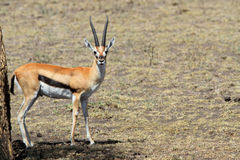 The adult Thomson`s gazelle. The adult gazelle Thomson waits a heat in a tree shadow Stock Photos