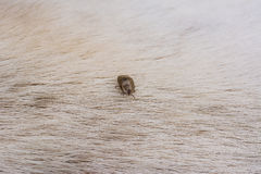 Adult tick standing on  dog fur. Royalty Free Stock Image