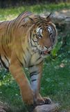 adult tiger alone at the zoo close-up in summer in color standing walking from the front stock photo