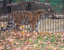 Adult tiger in a cage stock photography