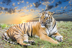Adult Tiger at Dawn. Wary tiger resting in a grassy field at dawn Royalty Free Stock Photography