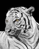 Adult Tiger Looking Away From the Camera Stock Image