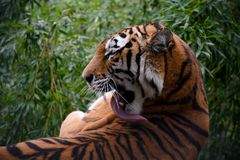 Adult tiger lying on the huge stone and licking his body by his long tongue. Royalty Free Stock Photos