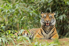Adult tiger lying in tall grass Stock Photography