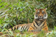 Adult Tiger lying in tall grass Royalty Free Stock Photography