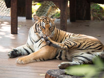 Adult tiger lying on wooden boards. And licking his paw Stock Images