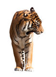 Adult tiger over white Royalty Free Stock Photography