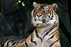Adult tiger resting in dark jungle Royalty Free Stock Image