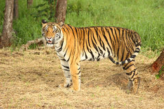 Adult tiger standing Stock Photos
