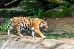 Adult tiger walking Stock Image