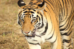 Adult tiger walking slowly Royalty Free Stock Photos