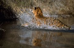 Adult Tiger In Water Royalty Free Stock Image