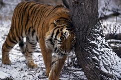 Adult Tiger In Winter Stock Photography
