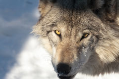 Adult timber wolf. Piercing stare of a timber wolf grey wolf in winter Stock Photography