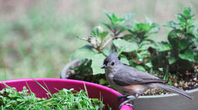 Adult Titmouse- on planter Stock Image