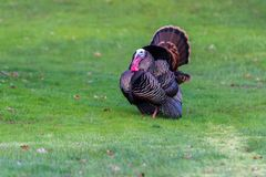 Adult Tom turkey stock images