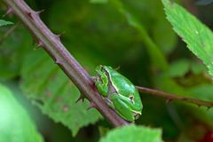 Adult tree frog is in a bramble Stock Photo