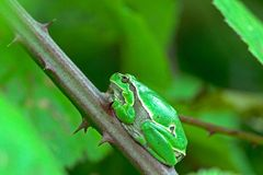 Adult tree frog is in a bramble Royalty Free Stock Photography
