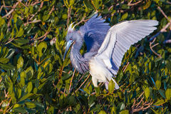 Adult Tri-Colored Heron Stock Photos