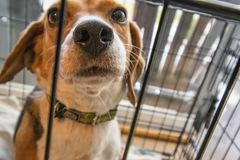 Adult Tricolor Beagle Stock Photography