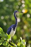 The adult tricolored heron (Egretta tricolor) Royalty Free Stock Photos