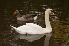 Adult trumpeter swan Stock Photos
