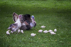 Adult turkey, with a female and turkeys walking along the lawn Stock Image