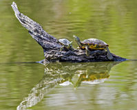Adult turtle and baby sit on driftwood with water reflections. Stock Image