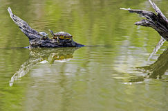 Adult turtle and baby sit on driftwood with water reflections. Stock Photos