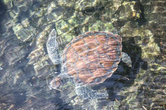 Adult turtle in a pond. Stock Photography