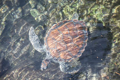 Adult turtle in a pond. Royalty Free Stock Photography