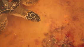 Adult turtle swimming in pool in conservation area in Sri Lanka stock video footage
